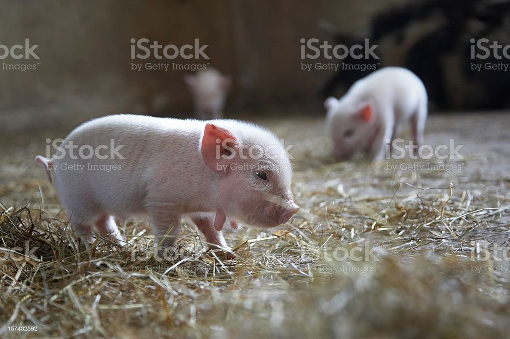Ten day old piglets stock photo