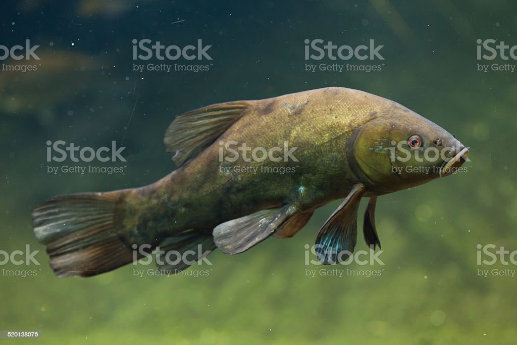 Tench (Tinca tinca), also known as the doctor fish. stock photo