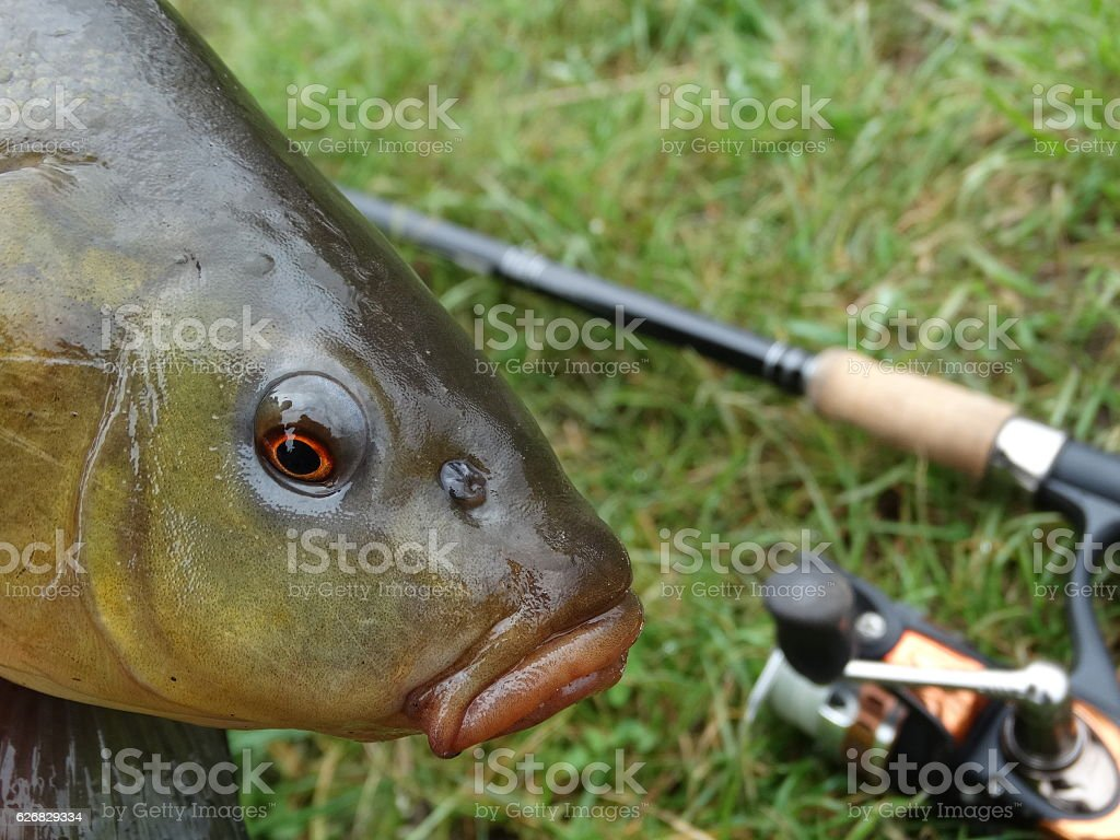 tench stock photo