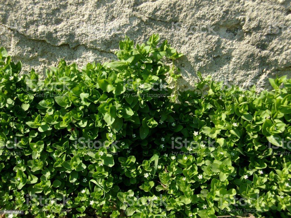 907- Tender green speedwell,veronica flower stock photo