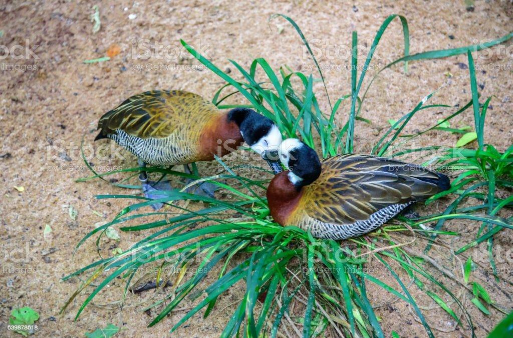 Tender kissing white-faced whistling ducks in Iguacu National Park stock photo