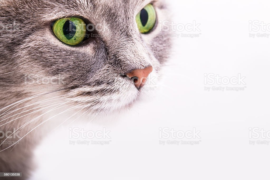 Tender look of a gray cat with green eyes stock photo