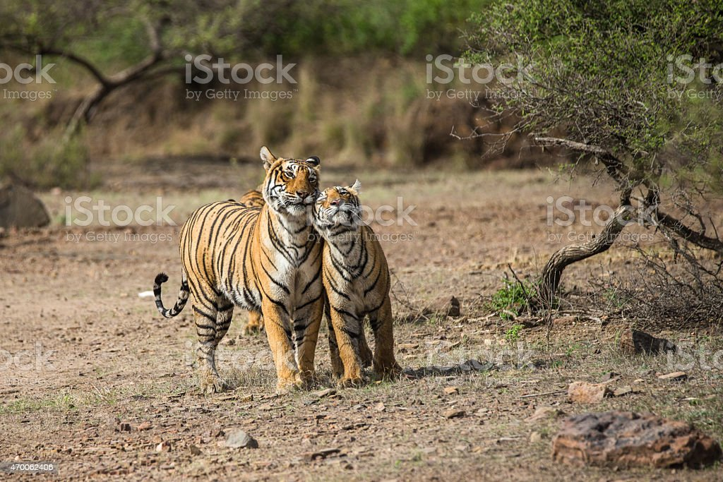 Tender young tiger with mother stock photo