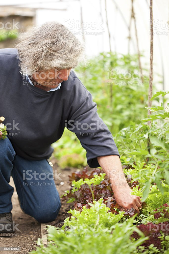 Tending salad leaf plants stock photo