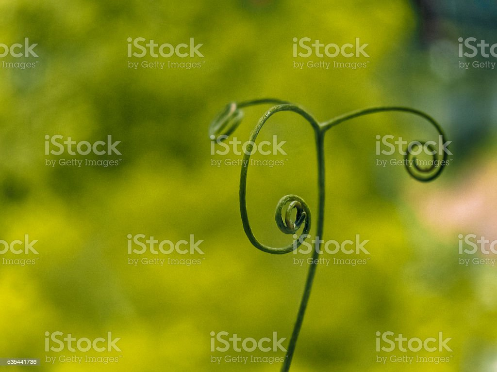 Tendril of a Climber stock photo