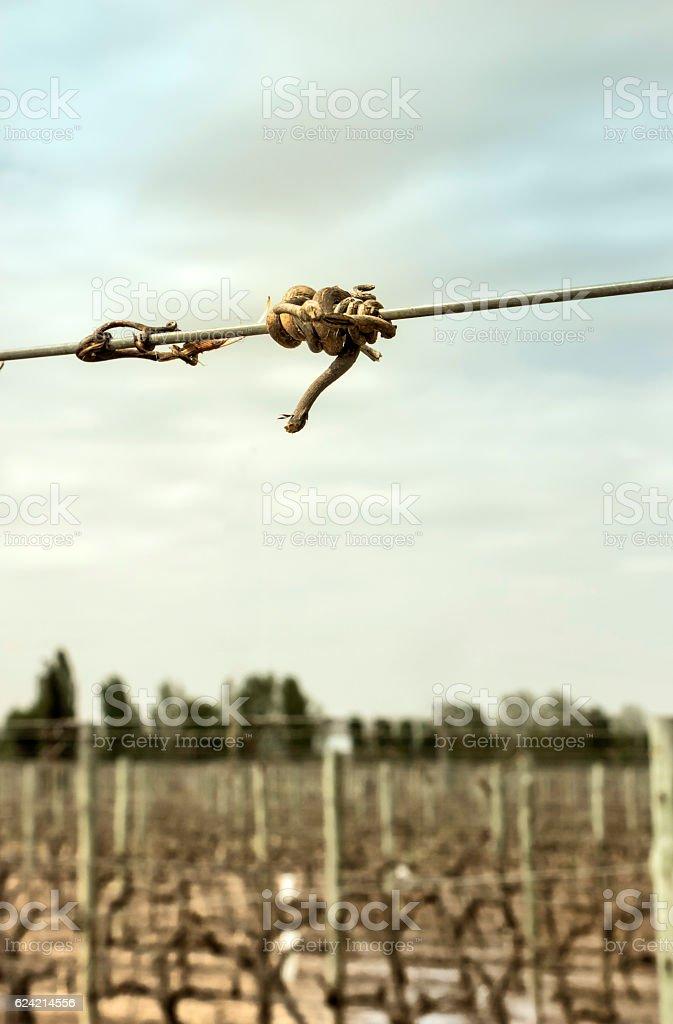 Tendril of vine stock photo