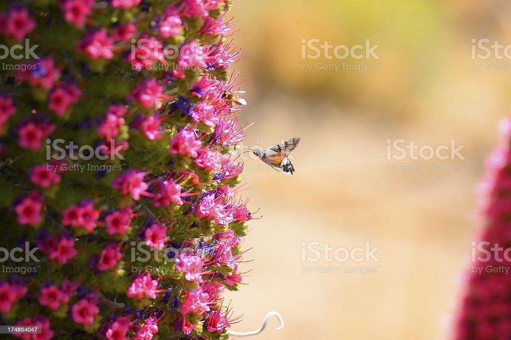 Tenerife Butterfly Feeding On Tajinaste Rojo royalty-free stock photo