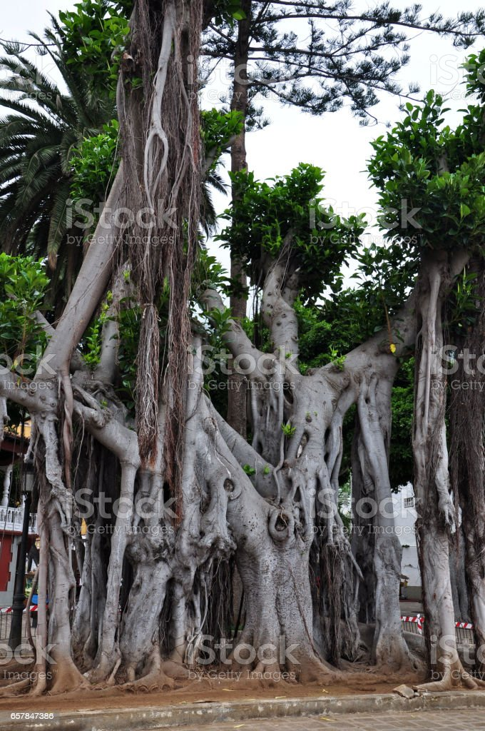 Tenerife, Spain, El Drago Milenario stock photo