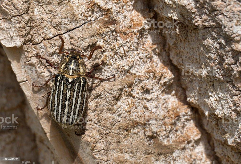 Ten-lined June beetle on cottonwood tree trunk Morrison Colorado stock photo