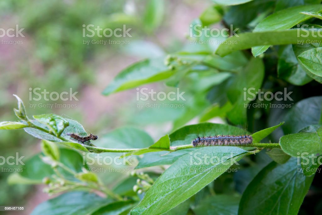 Tent Caterpillar on a Bush stock photo