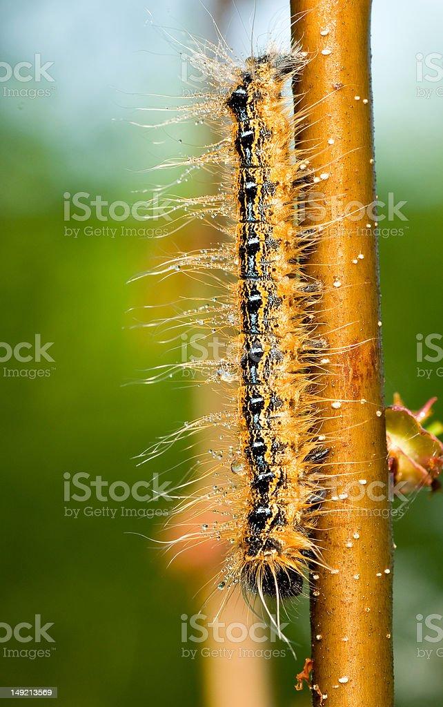 Tent caterpillar stock photo
