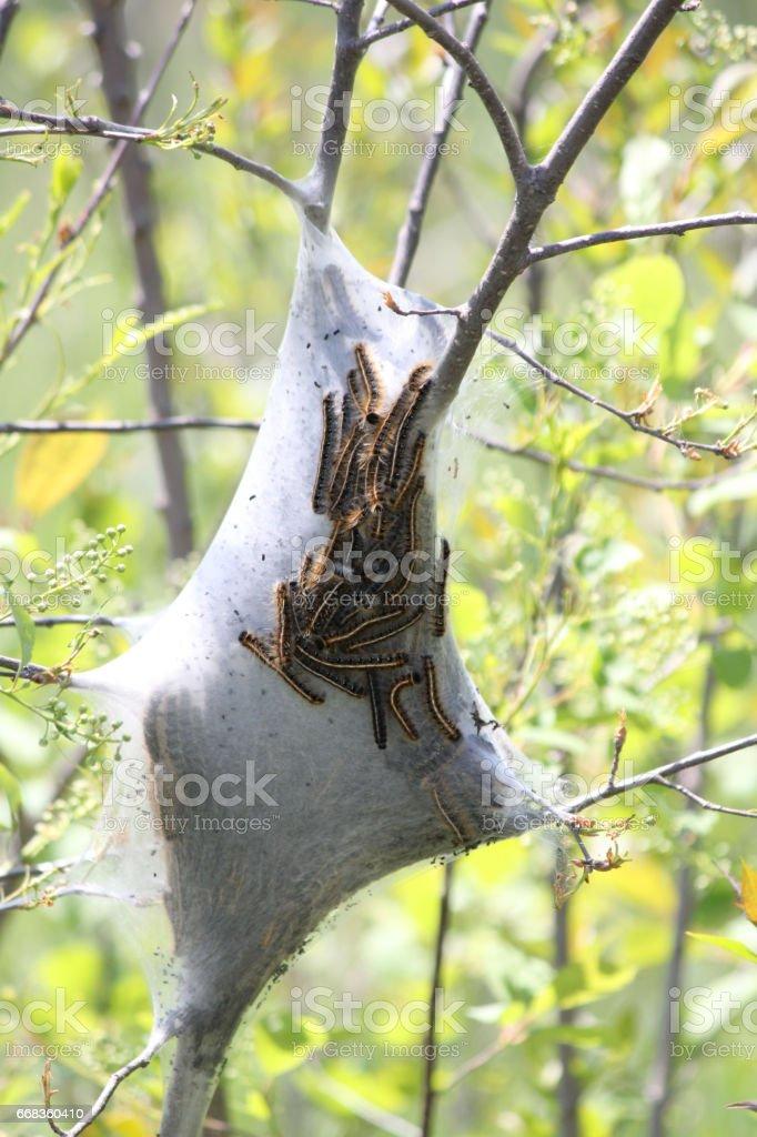 Tent Caterpillar (Malacosoma americanum) stock photo
