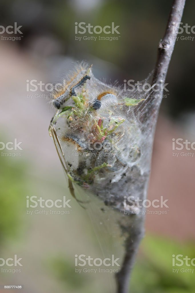 Tent caterpillars in a fruit tree stock photo
