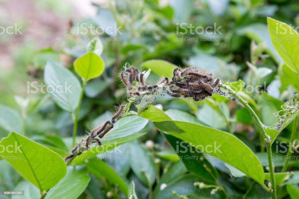 Tent Caterpillars on a bush stock photo