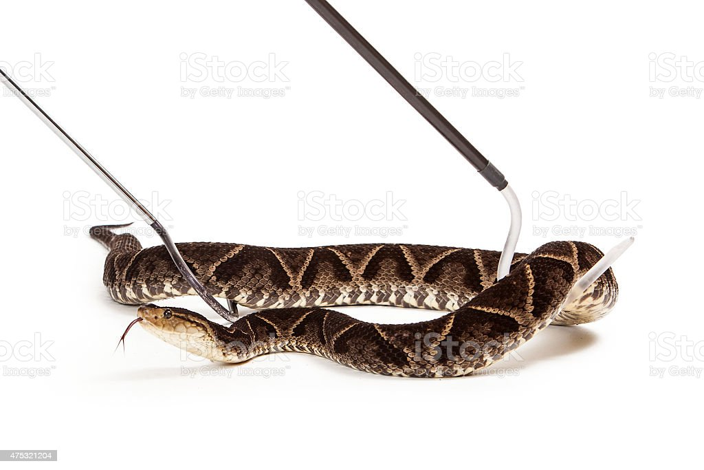 Terciopelo Pit Viper Snake Being Picked Up stock photo