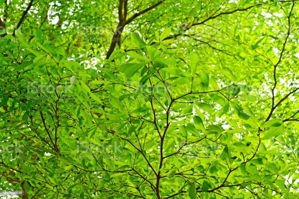 Terminalia ivorensis Chev, shade under the tree stock photo