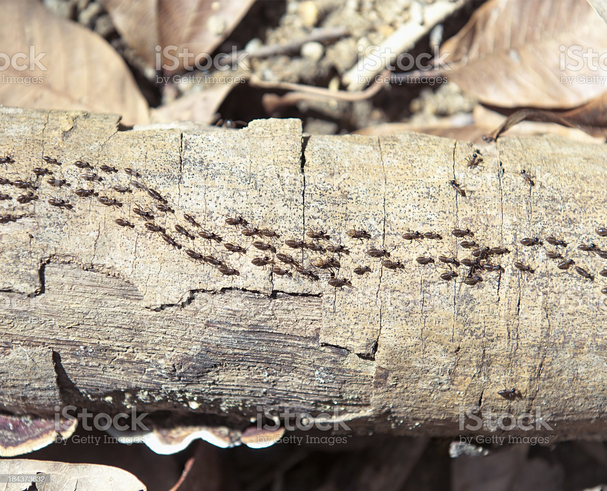Termite Colony On the Move royalty-free stock photo