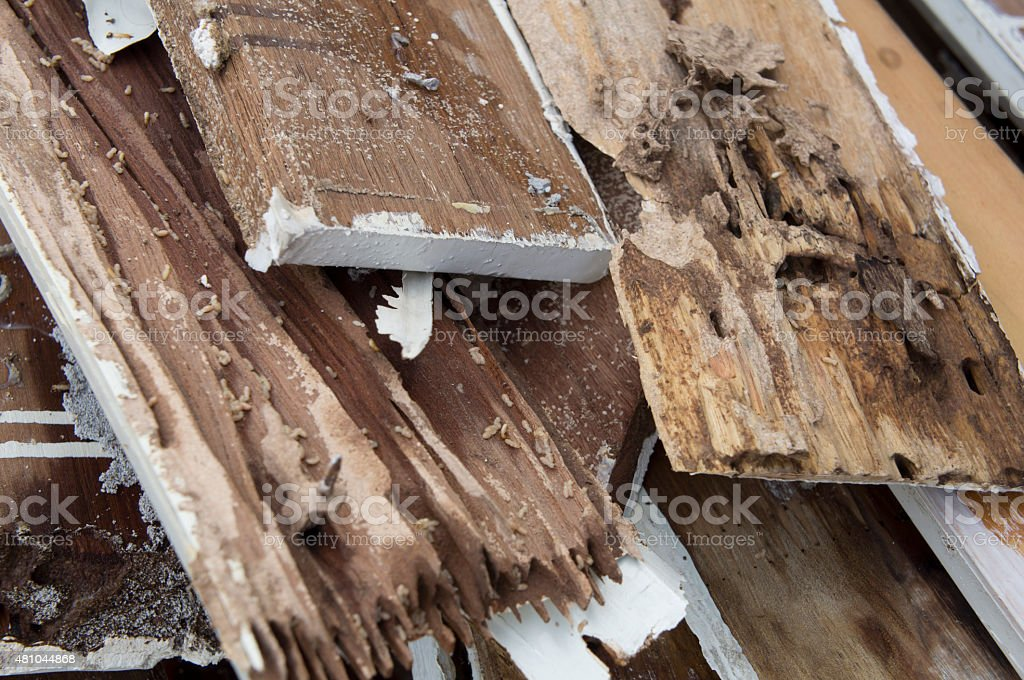 termite damage rotten wood eat nest destroy concept stock photo