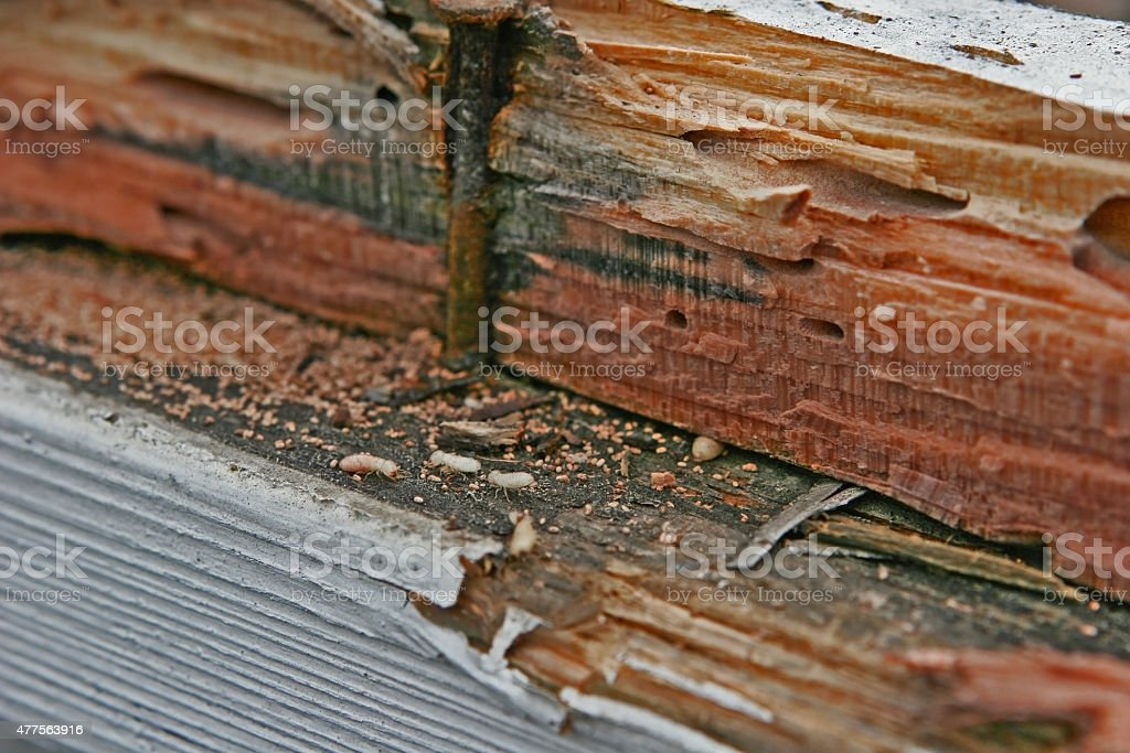 Termite Infestation stock photo
