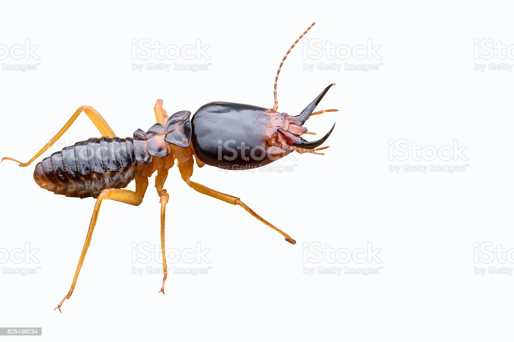 Termite isolated on white background stock photo