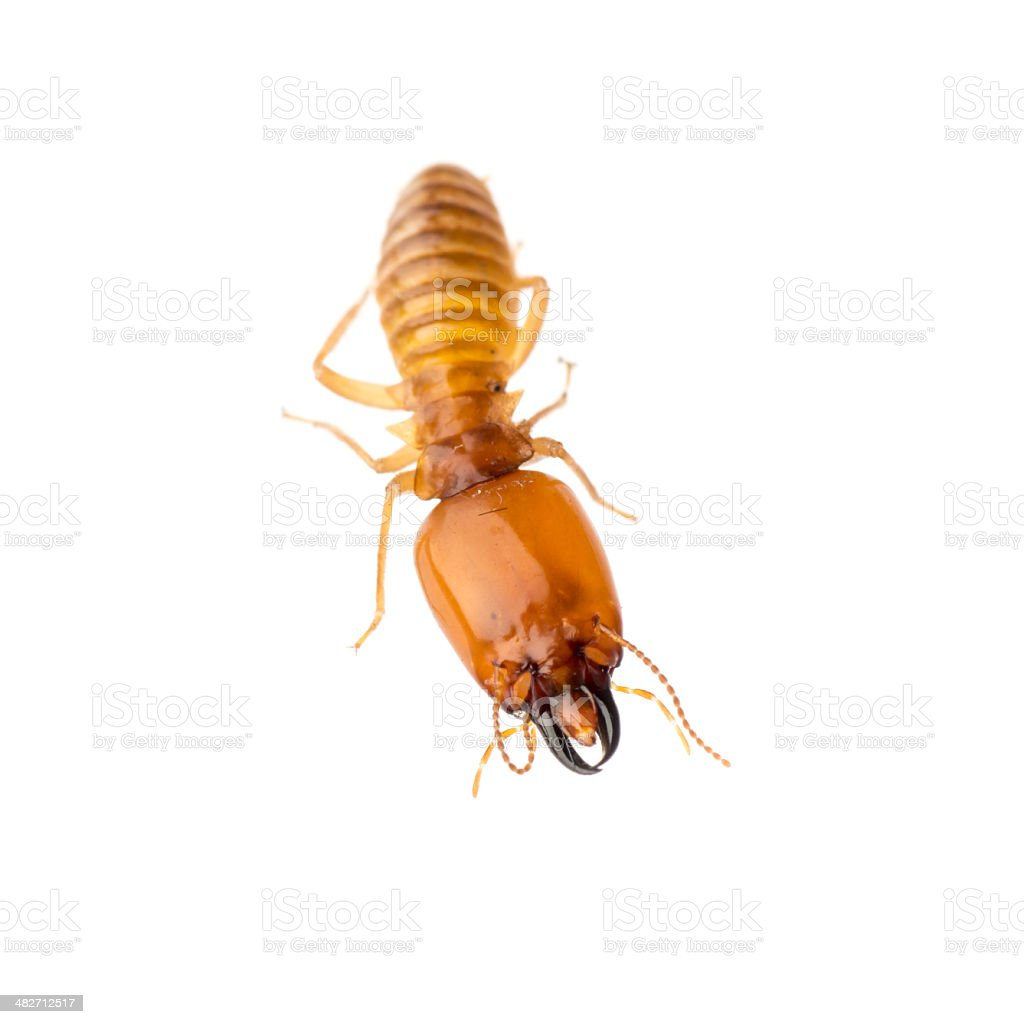 termite isolated stock photo