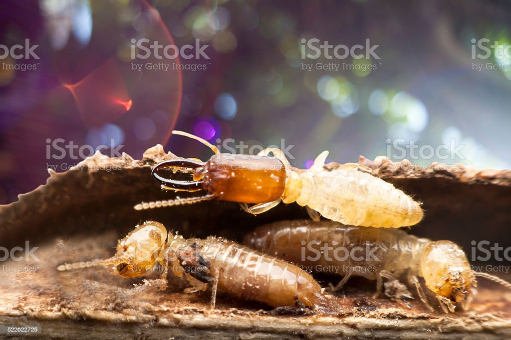 Termite macro on background bokeh. stock photo