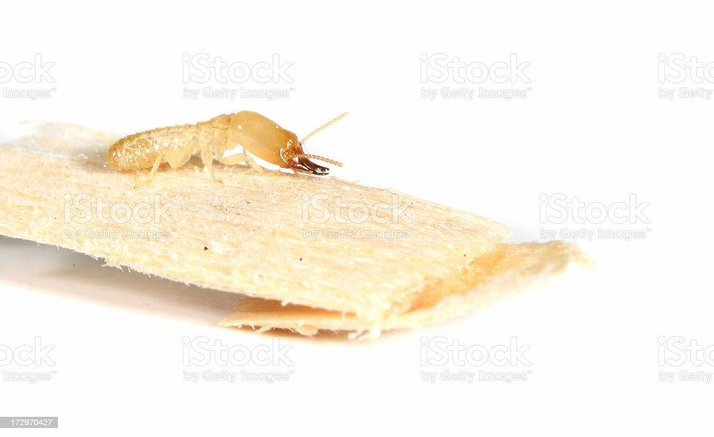 Termite royalty-free stock photo