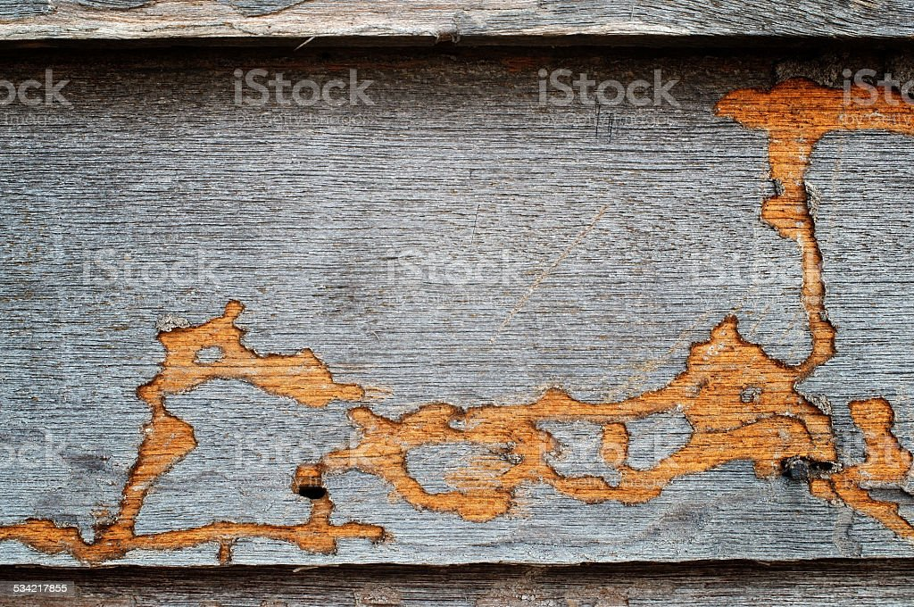 termite track on wooden wall. stock photo