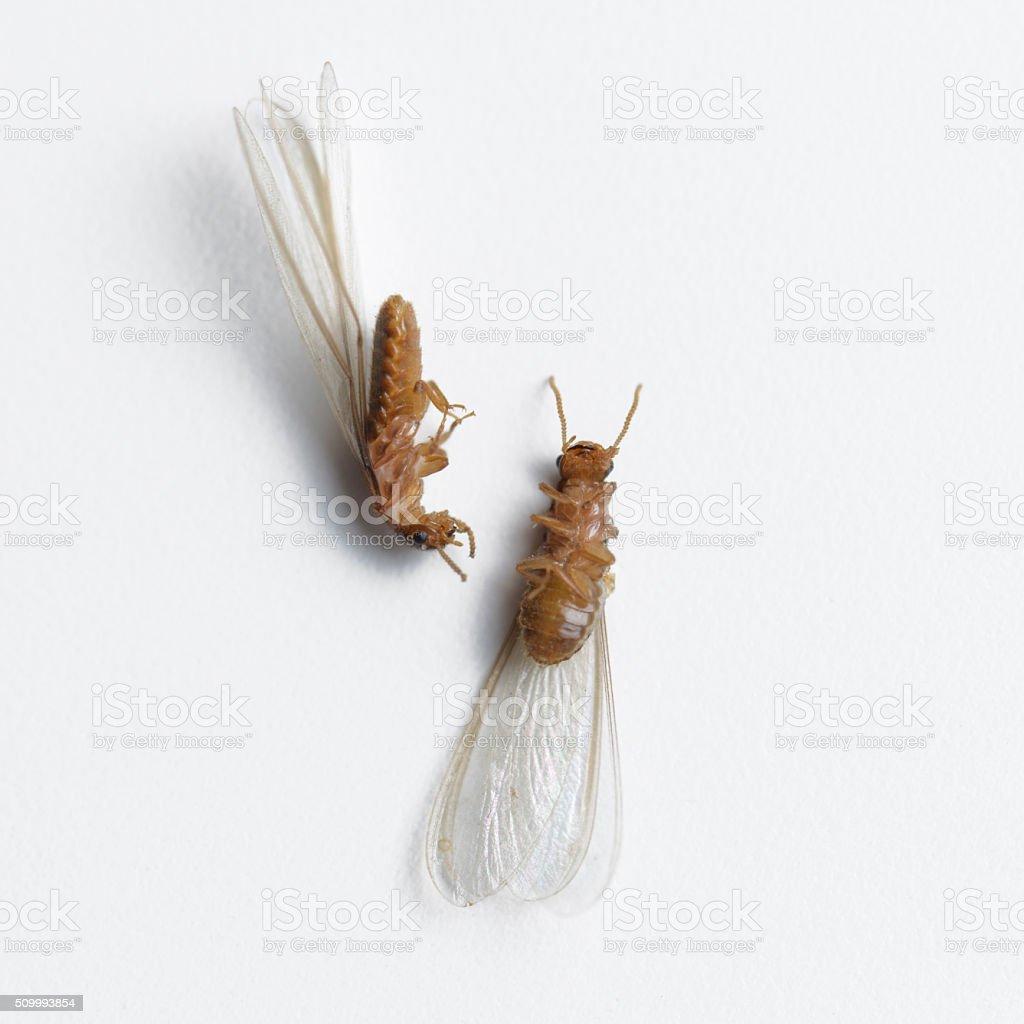 termite white ant dead stock photo