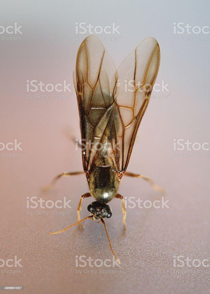 termite white ant royalty-free stock photo