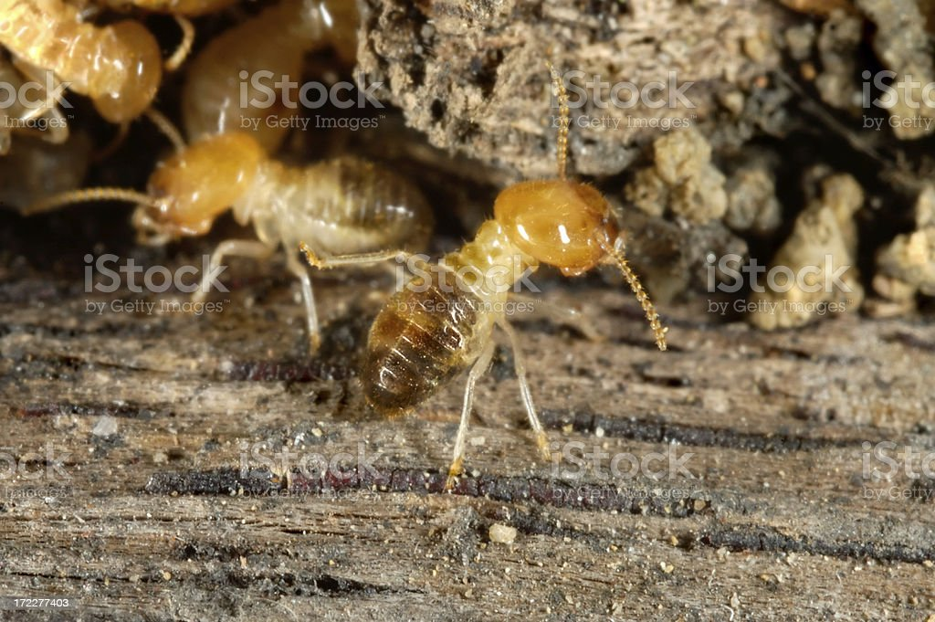 Termites at work stock photo