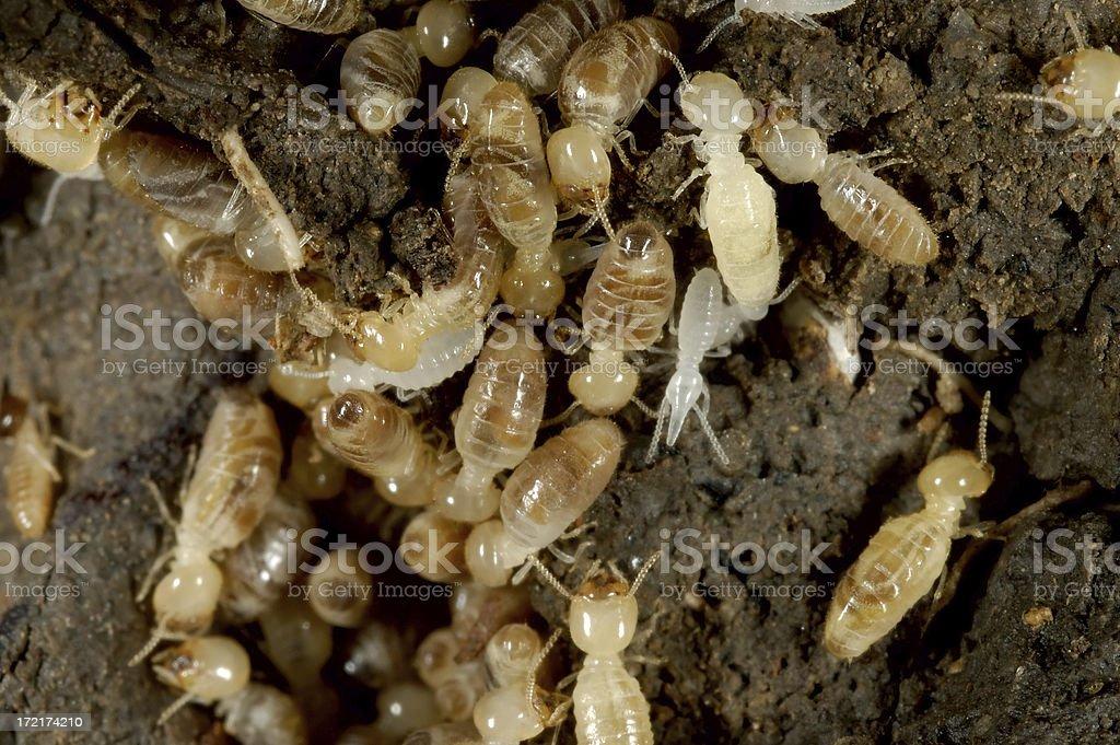 Termites royalty-free stock photo