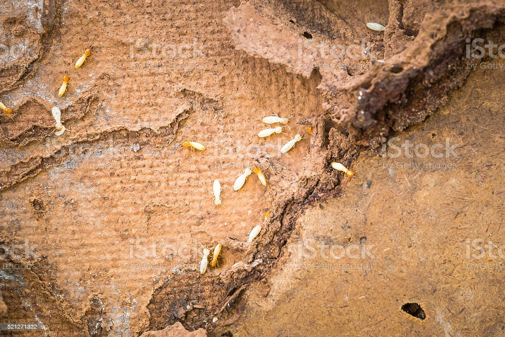 Termites swarm stock photo