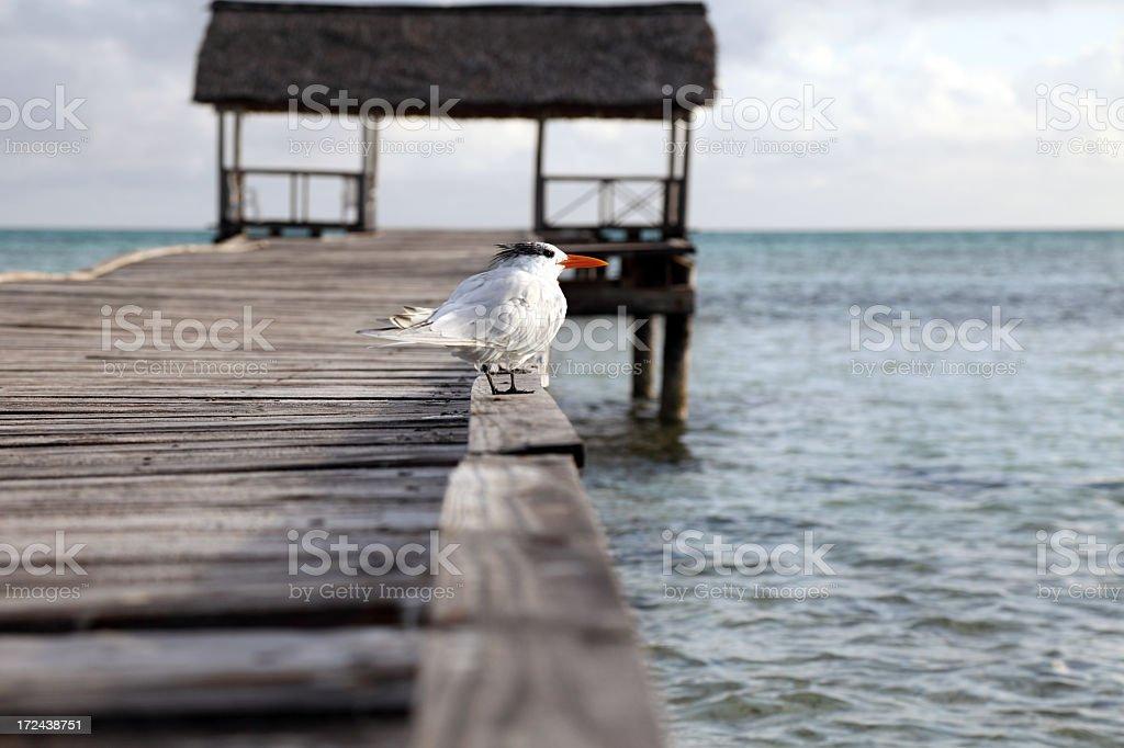 Tern bird resting on the pier royalty-free stock photo