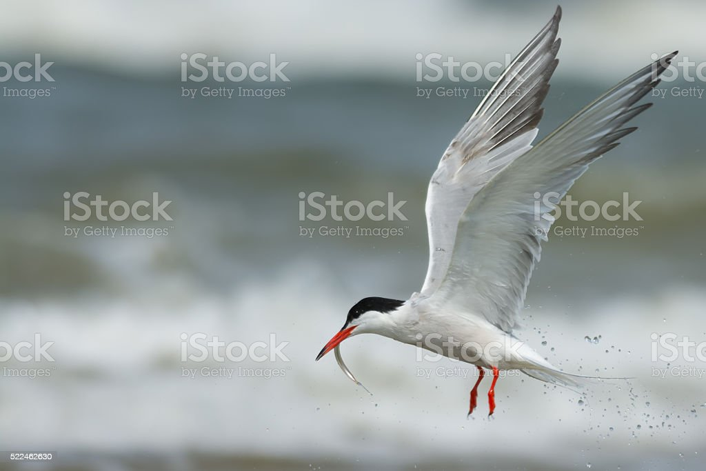 Tern catching a fish stock photo