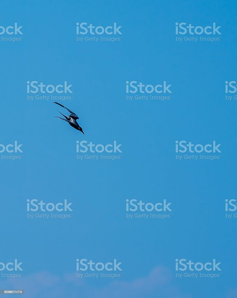Tern Diving for Fish stock photo