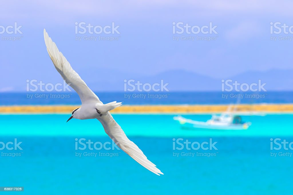 Tern flying over the beach stock photo