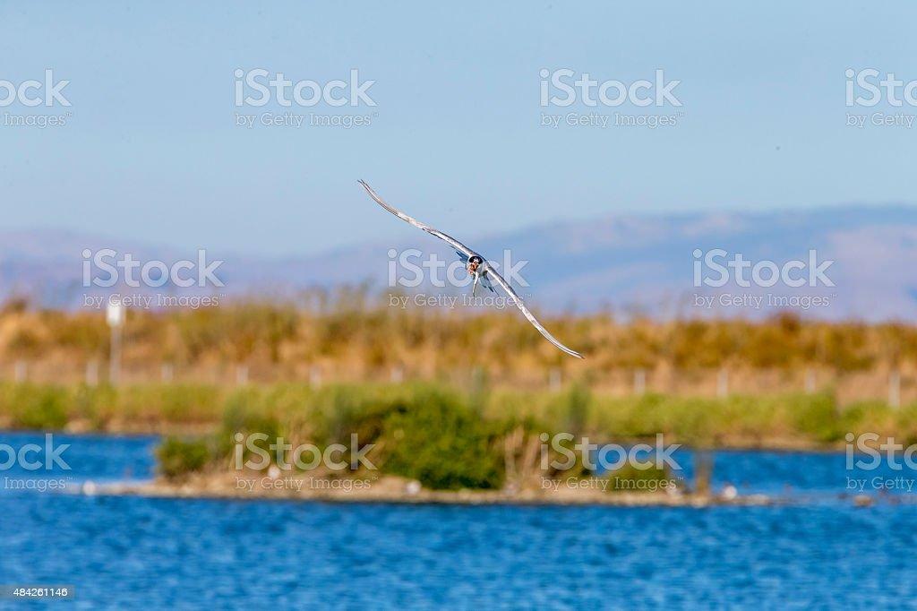 Tern Flying Overhead With Fingerling In Beak stock photo