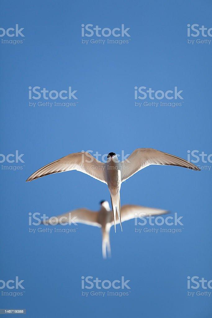 Tern in flight royalty-free stock photo