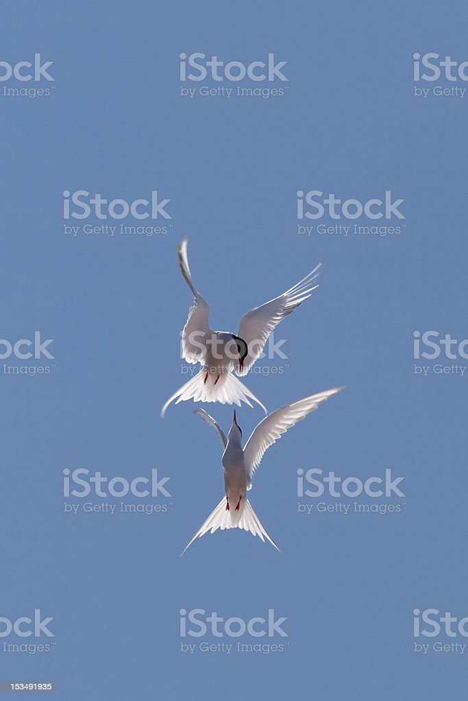 Tern in flight royalty-free stock photo