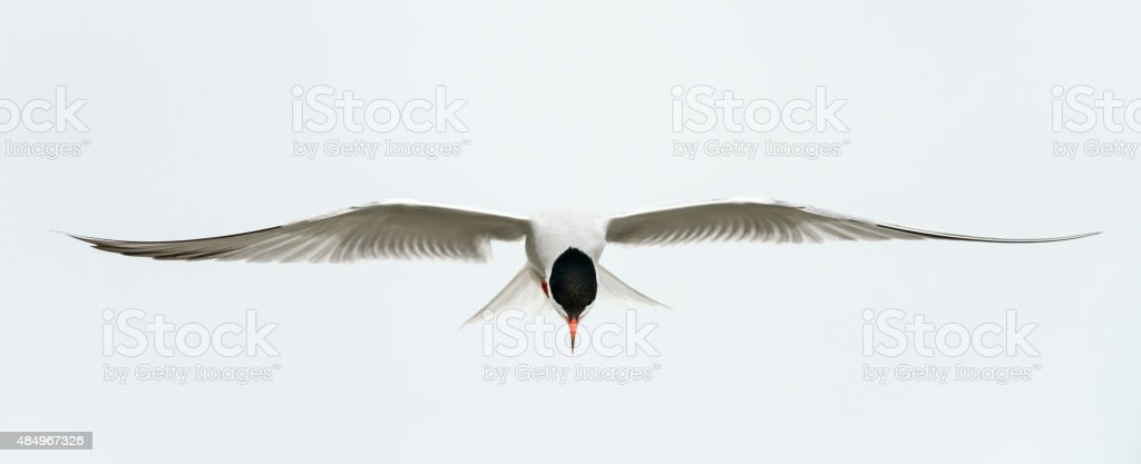 Tern in flight stock photo