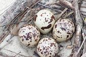 Tern nest with four eggs. The bird lives on the