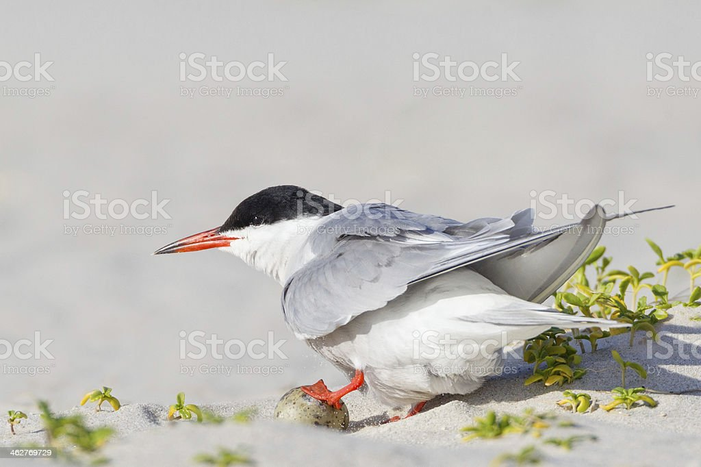 Tern Nesting With Egg royalty-free stock photo