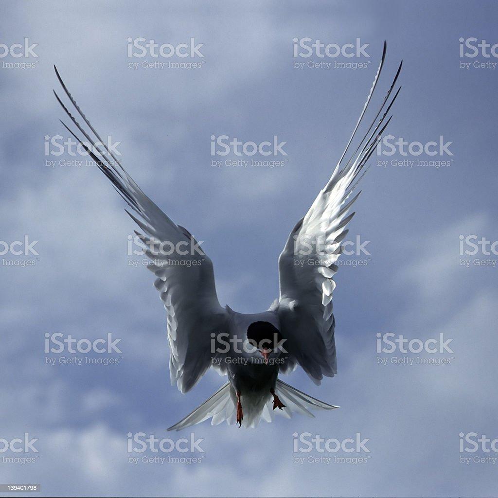 Tern royalty-free stock photo