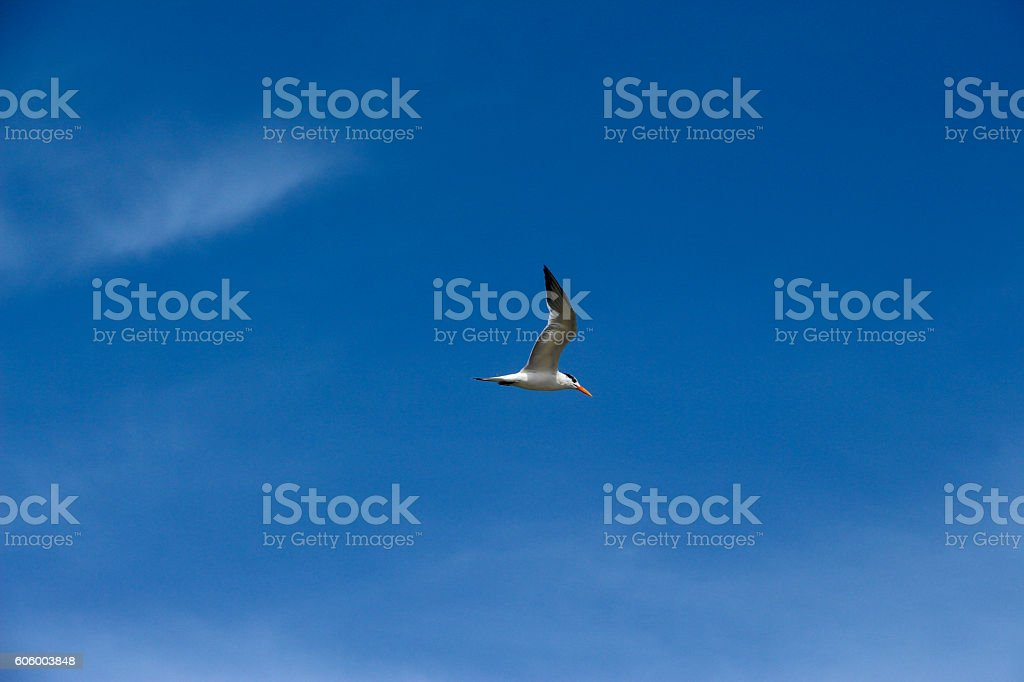 Tern Searching the Sea stock photo