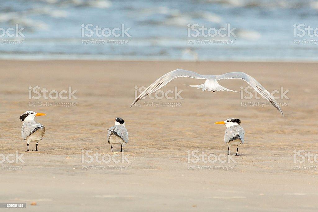 Tern Talk stock photo