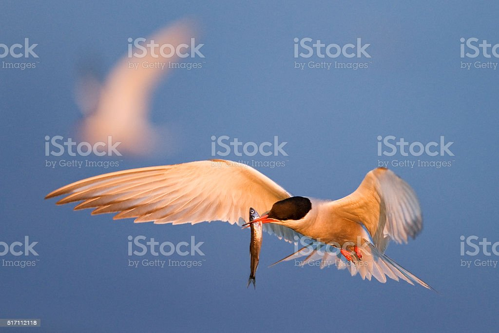Tern with a small fish in flight. stock photo