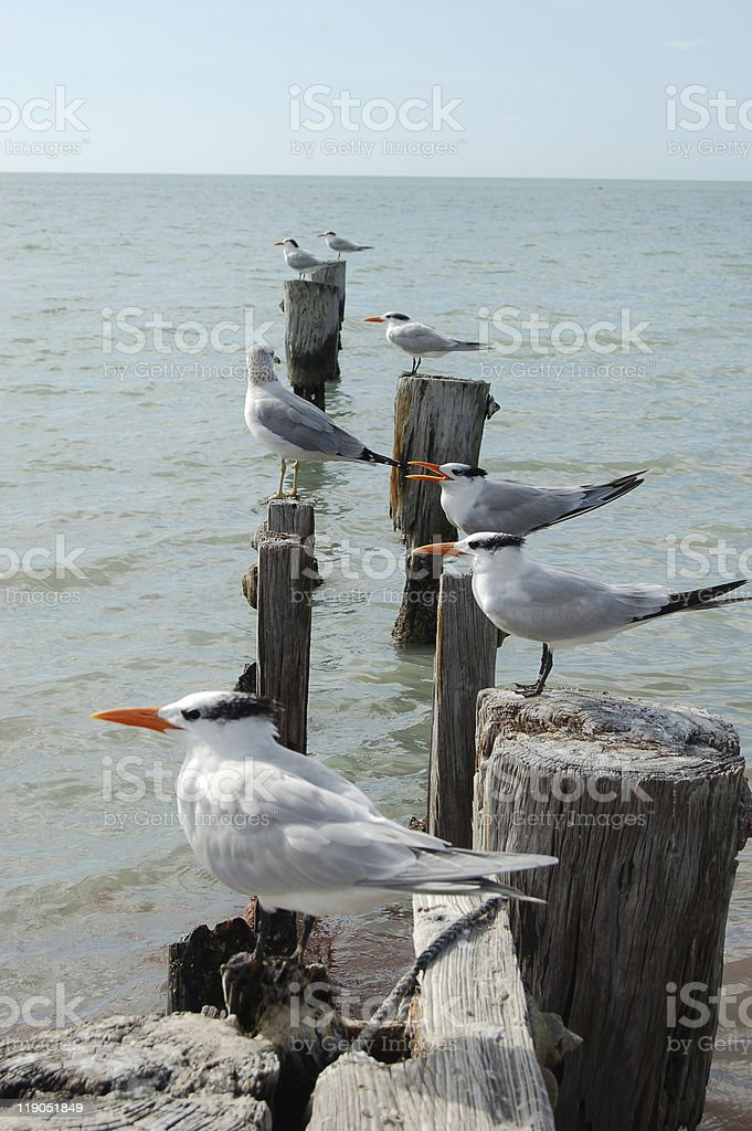 Terns and Seagull stock photo