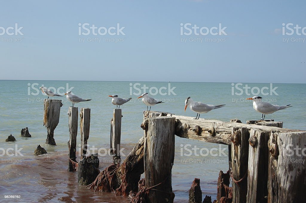 Terns on Pilings stock photo