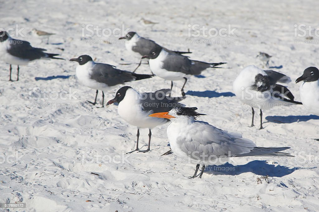 Terns on Siesta Beach, Florida stock photo